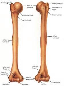 Humerus Bone Anatomy Diagram