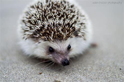 pygmy hedgehog african pygmy hedgehog eden frazier photography