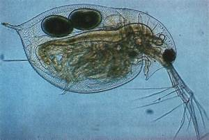 6 Daphnia Pulex  Water Flea  Is A Tiny Shellfish With A Transparent