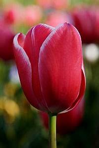 Cold Light Tulipani Wikipedia
