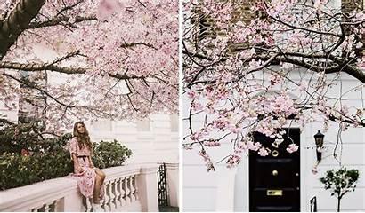 Cherry Blossom Season London Bloom Its