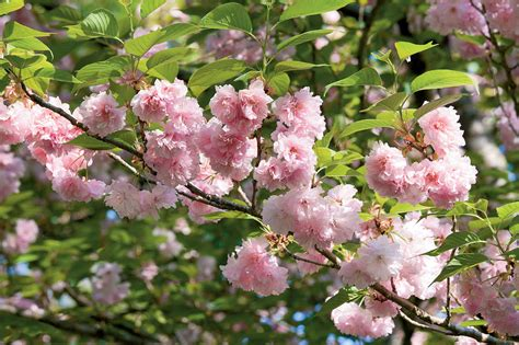 flowering cherry tree care kwanzan cherry growing cherry blossoms southern living
