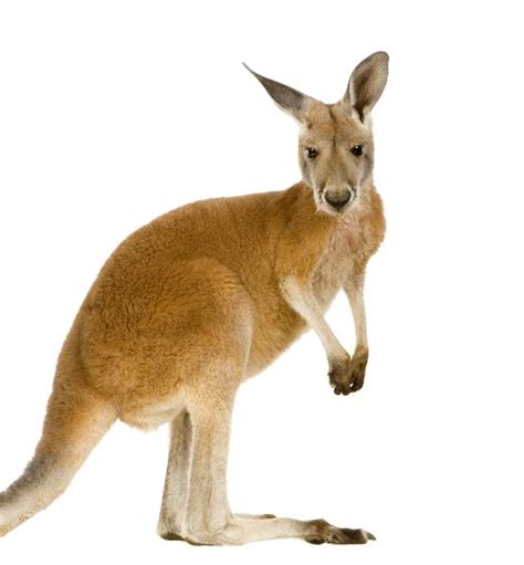 red kangaroo macropus rufus kangaroo facts  information
