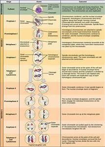 The Process Of Meiosis  U00b7 Biology