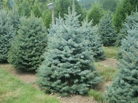douglas fir christmas tree care wholesale douglas fir fraser fir concolor fir and berkey s blue spruce at levan s