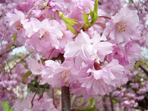 trees with pink blossoms spring flowering trees art prints pink flower blossoms baslee photograph by baslee troutman