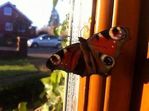 Bedeutung Schmetterling In Der Wohnung : re laie fragt kann ich ein pfauenauge in der wohnung berwintern foto ~ Watch28wear.com Haus und Dekorationen