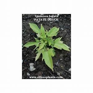 Culture De La Patate Douce : ipomoea batatas plant de patate douce cultiver ~ Carolinahurricanesstore.com Idées de Décoration
