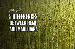 5 Differences Between Hemp And Marijuana