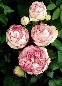 Rosen Kaufen Günstig : zwergrose biedermeier rosen pinterest rose blumen und rosengarten ~ Markanthonyermac.com Haus und Dekorationen