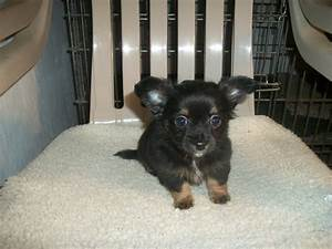 Picture 5 of 50 - Chihuahua Puppies for Sale In Va New ...