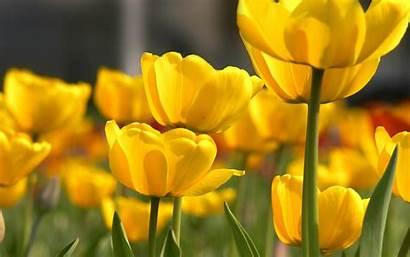 Yellow Flower Flores Petals Fiori Wallpapers Amarillas