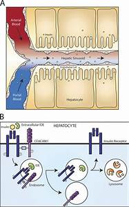The Cell Biology Of Systemic Insulin Function