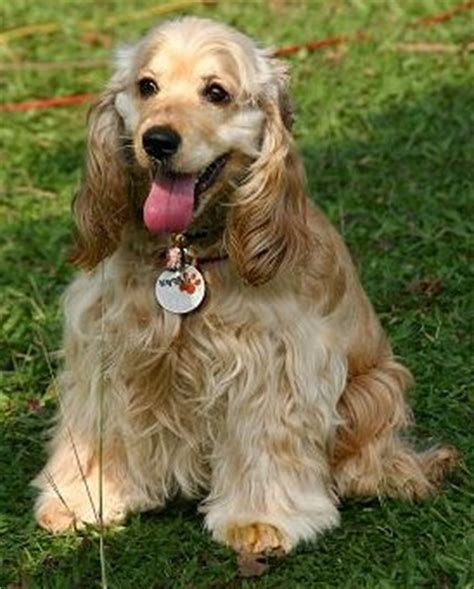 Do Spaniels Shed by Cocker Spaniel American Save A Rescue
