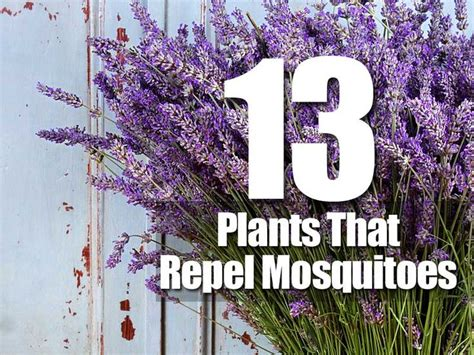 plants that repel mosquitos 1000 images about household tips and time savers on pinterest how to hang uses for baking
