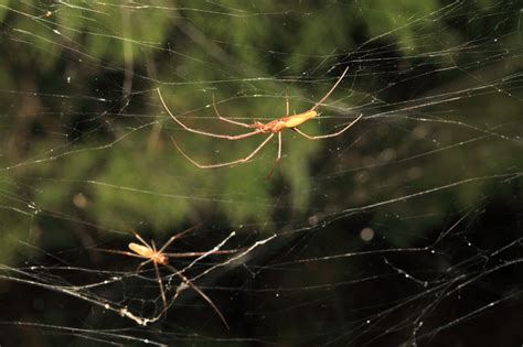 thousands  spiders worked   build  giant