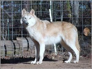 African Wild Dog Wolf Hybrid - Dog : Pet Photos Gallery ...