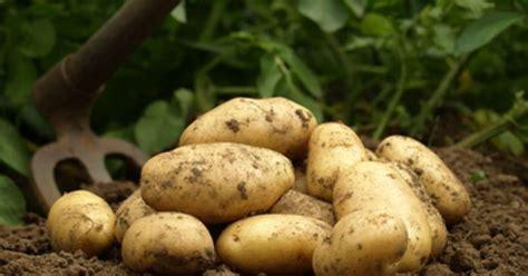 cuisiner des pommes de terre nouvelles les pommes de terre primeur et les pommes de terre