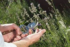 Wann Wird Lavendel Geschnitten : lavendel schneiden wann wie warum ~ Lizthompson.info Haus und Dekorationen