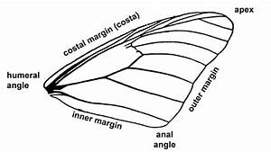 Insect Wing Diagram--regions