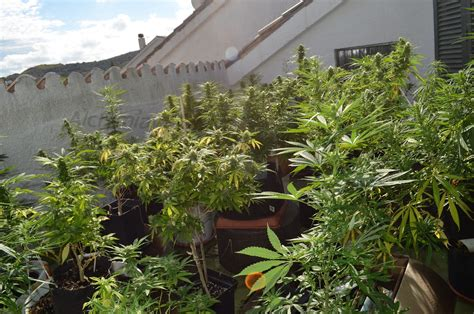 r 233 colter du cannabis de juin 224 novembre sur balcon du growshop alchimia