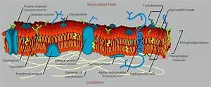 Intracellular Fluid Vs Extracellular Fluid