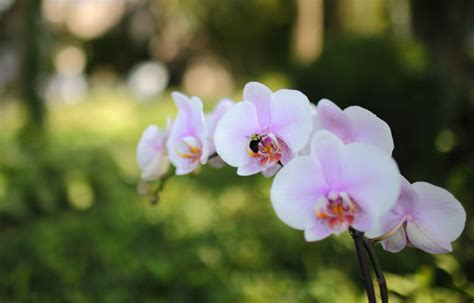 phalaenopsis orchid bloom cycle orchid photos colleen welch