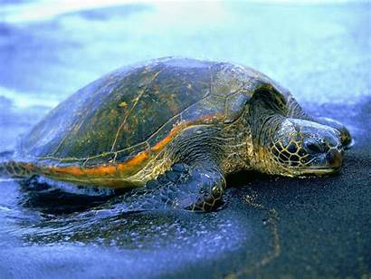 Turtle Turtles Fanpop Sea Animaux Hawaiian Tartarugas