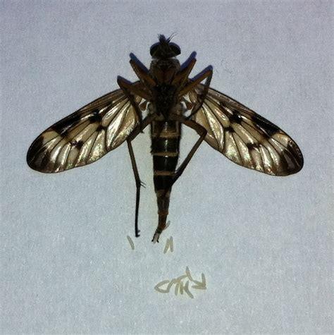 http://commons.wikimedia.org/wiki/file:rhagoletis_cerasi_birth_larvae.jpg