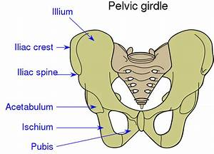 File Pelvic Girdle Illustration Svg