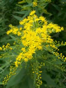 Wisconsin Goldenrod
