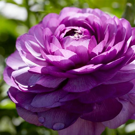 zyverden butter cups ranunculus purple bulbs