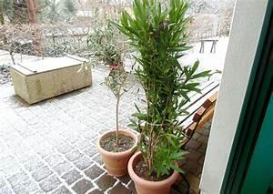 Pflege Von Oleander : oleander berwinterung tipps und wie ich es mache ~ Eleganceandgraceweddings.com Haus und Dekorationen