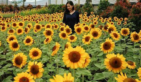 kebun bunga matahari  paris van java bandung destinasi