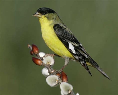 lesser goldfinch audubon field guide