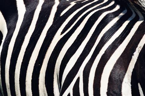 Zebra Pattern Wwwpixsharkcom Images Galleries With A