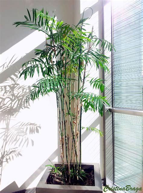 Chamaedorea bambu - Chamaedorea seifrizii - Flores e Folhagens