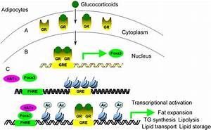 Forkhead Box A3 Mediates Glucocorticoid Receptor Function In Adipose Tissue
