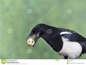 Elster Vogel Vertreiben : elster die eier stiehlt stockfoto bild von field v gel ~ Lizthompson.info Haus und Dekorationen