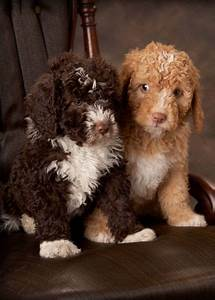 1000+ ideas about Spanish Water Dog on Pinterest ...