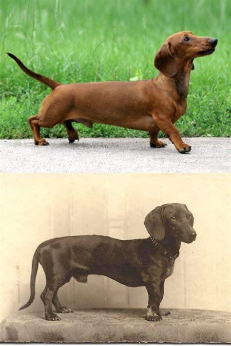 years breeding popular changed dog breeds these dachshund dachshunds dogs breed legs were born terrier tiny think once
