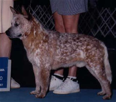 australian cattle dog australian cattle dogs american