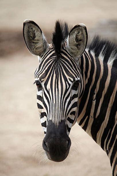 Best Zebra Head Stock Photos, Pictures & Royalty-Free ...