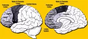 Anatomy Of The Frontal Lobe