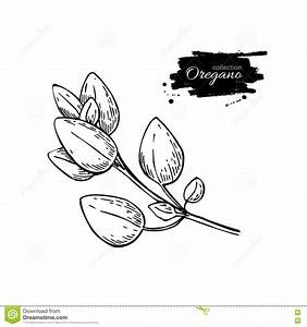Oregano Drawing. Isolated Oregano Plant With Leaves. Herb ...