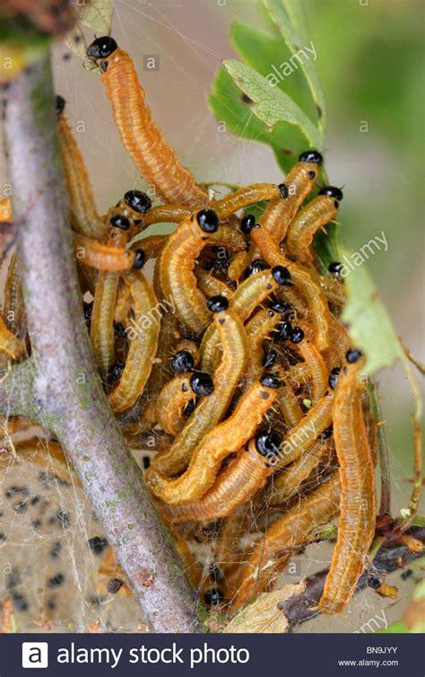 http://www.alamy.com/stock-photo-social-pear-sawfly-larvae-neurotoma-saltuum-syn-tenthredo-flaviventris-30330607.html