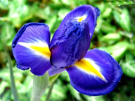 iris flowers flower picture iris flower picture 1