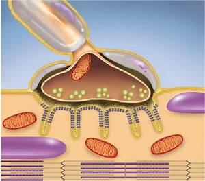 Biology 308  U0026gt  Cabrera  U0026gt  Flashcards  U0026gt  Muscular Tissue