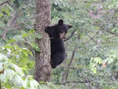 Bear Cubs Update Virginia Wildlife Trees Were