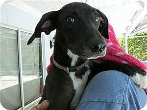 St Petersburg, FL - Italian Greyhound/Labrador Retriever ...